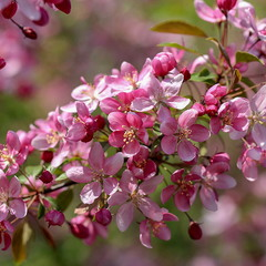 Цвет райской яблони