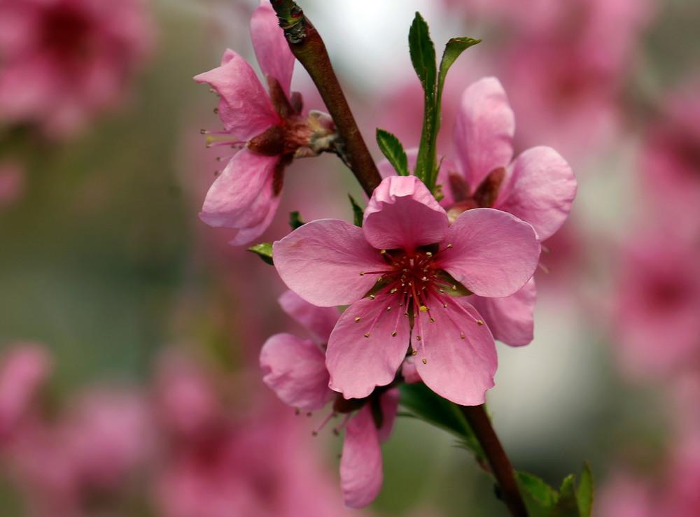 картинка цветущего персиками строители