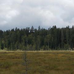 А за болотом ліс, ліс...
