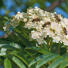 Рябина и пчелки)