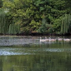 Попід берегом пливуть лебеді...