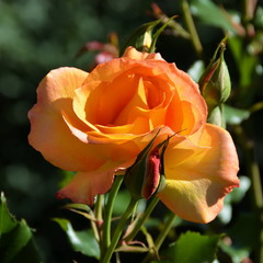 Мабуть, не дарма є на світі троянди...