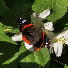 Жасмин и бабочка