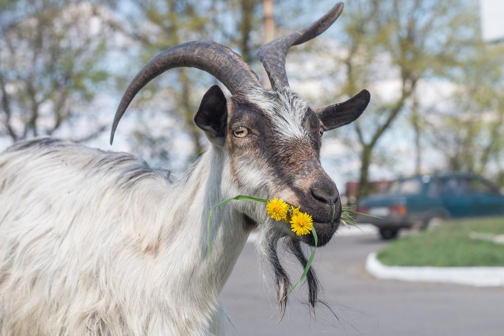 козел он и в африке козел картинки