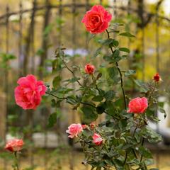 Останні троянди