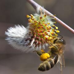 Бджолина акробатика