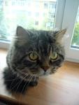 Чиширский кот
