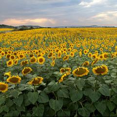 Соняшникові плантації