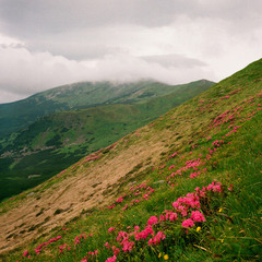 Квітнуть гори