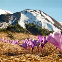 Весняні квіти гір