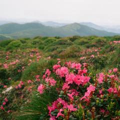 У Карпатах цвіте рододедрон