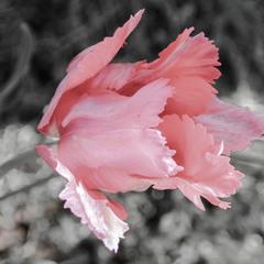тюльпановий світ