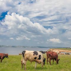 Коровы шли на водопой организованной толпой