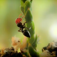 Красноголовый муравей