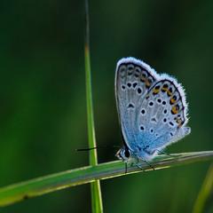 Голубянка Аманда