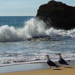 Океанские чайки