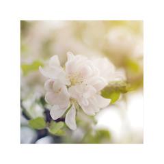 Когда яблоньки в цвету!..