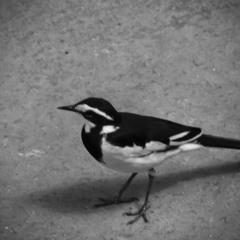 Моноромный птах