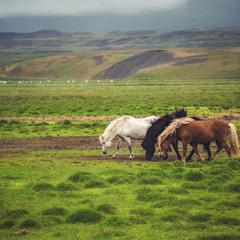 Кони Исландии