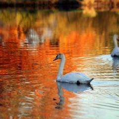 Лебеди и осень