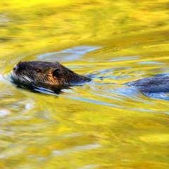 Плавание в жёлтой воде
