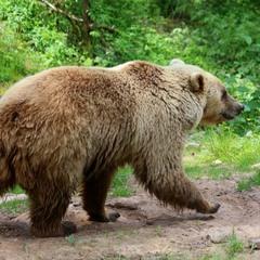Медвежью тропой