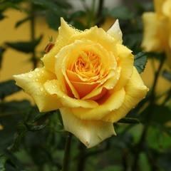 Утро жёлтых роз