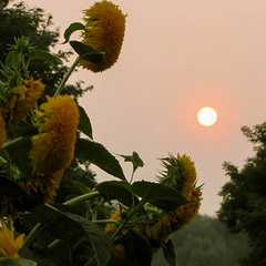 Утренние солнышки