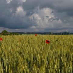Хлібний лан під грозовим небом