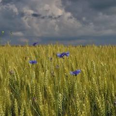 Голубі краплинки неба між колоссям