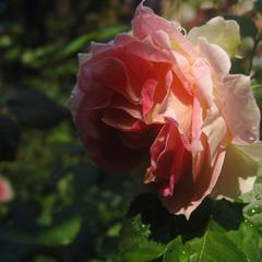 Час троянд....