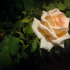 Час троянд... 2