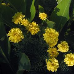 Літо, літечко- все в квітах, квіточках -2