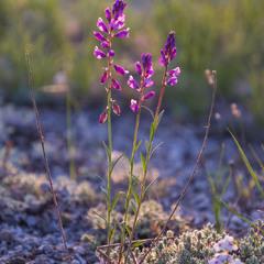 Цветы меловых гор