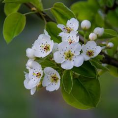 Цвіт дикої груші