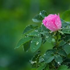 Цвіте шипшина під весняним дощем...