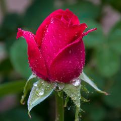 Троянда...