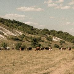 Пасуться корови за селом...