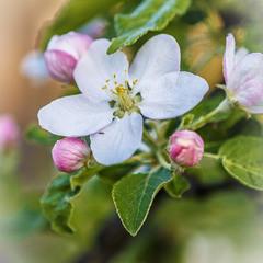 квітнуть яблуні