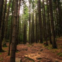 Дрімучі карпатські ліси
