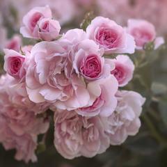 Утро в розовом.