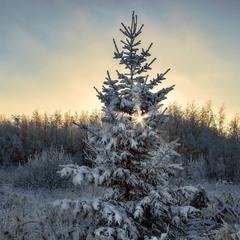 В лесу родилась ёлочка ...