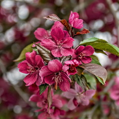 Яблоневый цвет.