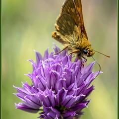 Бабочка толстоголовка на цветущем луке 2.