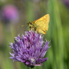 Бабочка толстоголовка на цветущем луке.