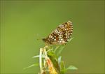 шашечница обыкновенная (лат. Melitaea cinxia)