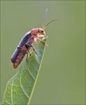комахи - Мягкотелка бурая