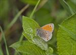 Прочанок памфіл або сінниця звичайна або малий жовтий сатир (Coenonympha pamphilus)