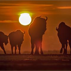 цар Біловезької пущі - після сходу сонця