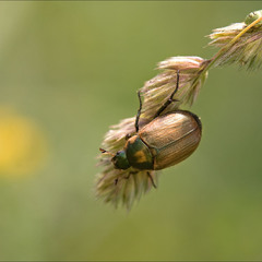 Луговой хрущик  (Anomala dubia)